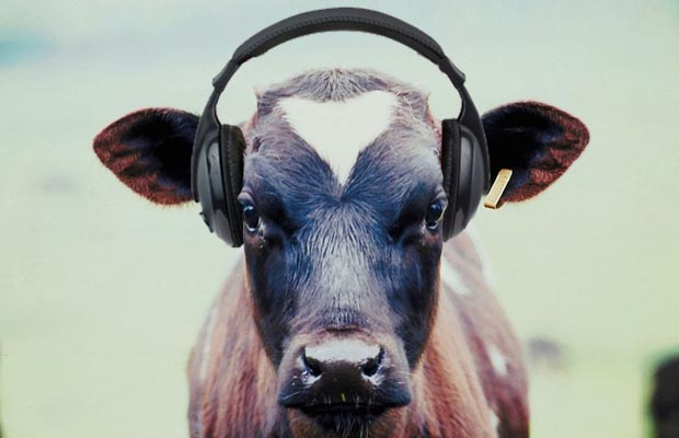 Cows with headphones listening to music